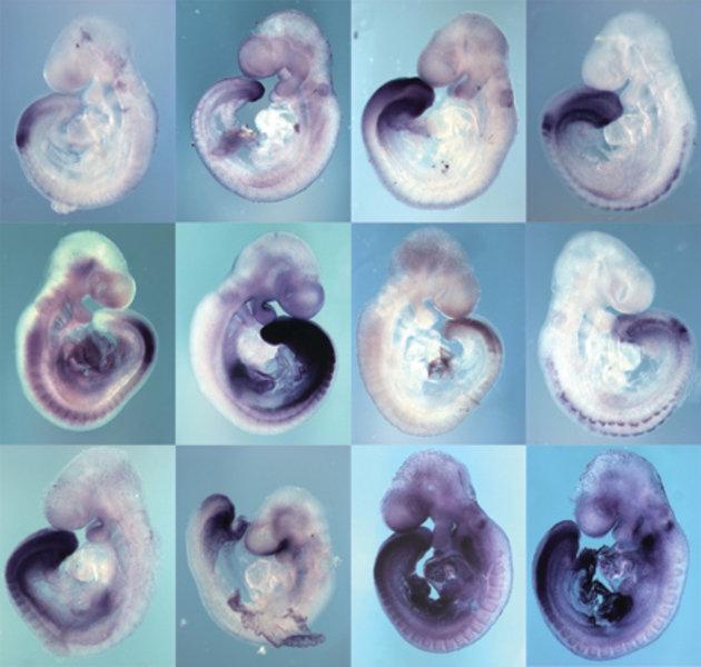 Unterschiedliche Genaktivitäten im kaudalen Teil von 9,5 Tage alten Mausembryonen, erkennbar an den gefärbten Bereichen.