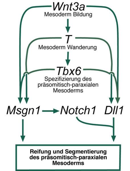Hierarchie der wichtigsten Regulatoren bei der Bildung, Reifung und Segmentierung des paraxialen Mesoderms. Das Signalmolekül Wnt3a kontrolliert den g