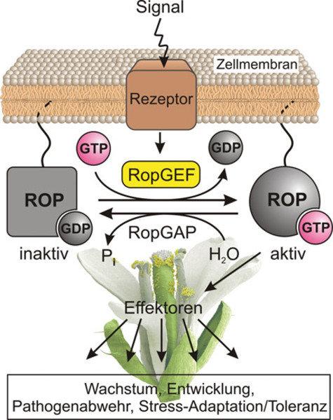 Modell zur pflanzlichen Signalübertragung durch ROP-Proteine. Auf die Zelle einwirkende Signale werden über Rezeptoren in der Zellmembran an Guaninnuk
