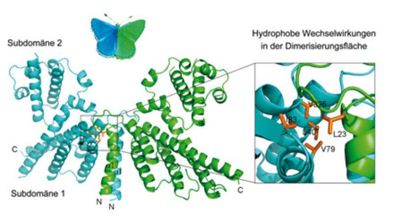 Schmetterlingsförmige 3D-Struktur eines Dimers der katalytischen PRONE-Domäne von RopGEF8 aus Arabidopsis thaliana. Die beiden Untereinheiten (jeweils