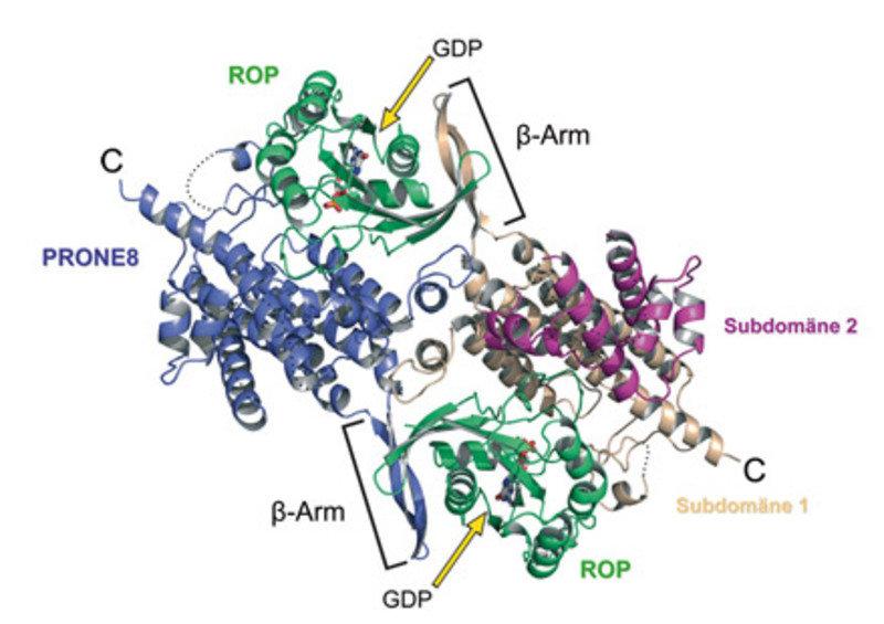 3D-Struktur des Proteinkomplexes aus der katalytischen PRONE-Domäne  von RopGEF8 (PRONE8) und ROP4 aus Arabidopsis thaliana. Die ROP-Moleküle (grün) e