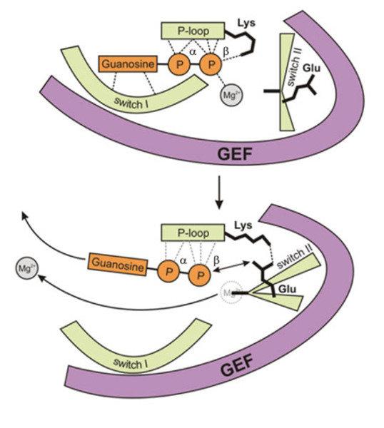 Modell zum Reaktionsmechanismus für die GEF-katalysierte Nukleotidfreisetzung. Die GEF-induzierten Restrukturierungen konservierter Regionen im G-Prot