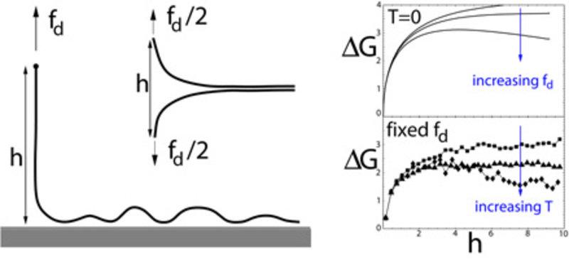 Links: Kraftinduzierte Desorption eines adsorbierten semiflexiblen Polymers oder kraftinduziertes Entbinden zweier gebundener semiflexibler Polymere.