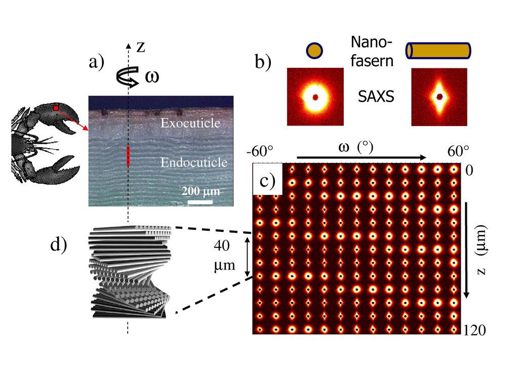 Hierarchische Struktur biologischer Materialien:  a)   Lichtmikroskopisches Bild eines dünnen Querschnitts durch eine Hummerschale. Die äußere Schicht