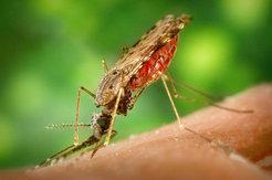 Die weibliche <i>Anopheles</i>-Mücke (hier: <i>Anopheles albimanus</i>) überträgt den Malaria-Erreger, den Parasiten <i>Plasmodium</i>, auf den Mensch