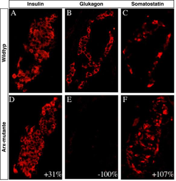 Verlust der Glukagon-produzierenden α-Zellen in Arx-Mutanten: Der Verlust der Arx-Genaktivität in Mäusen führt zum Verlust der α-Zellen und fördert ei
