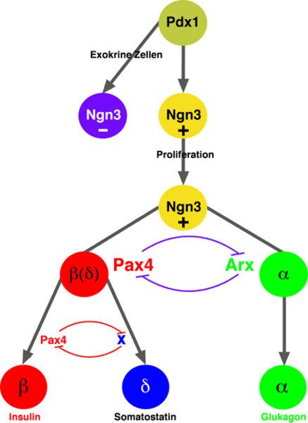 Prägung der endokrinen Zellidentität durch Kontrollgene: In dieser schematischen Darstellung wird die Prägung des endokrinen Pankreas durch die Aktivi