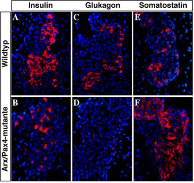 Verlust der Insulin- und Glukagon-produzierenden Zellen in Arx/Pax4-doppelmutanten Embryonen: Der gleichzeitige Verlust der Genaktivität von Arx und P