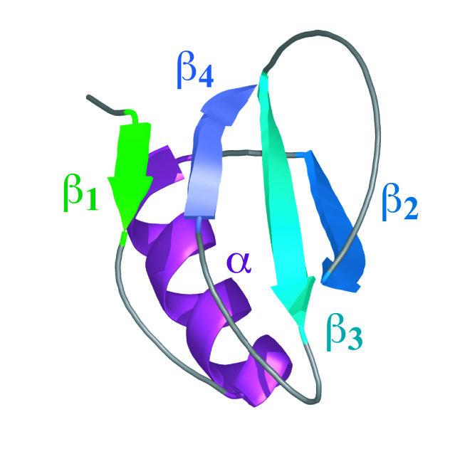 Die Struktur des Proteins CI2 besteht aus einer α-Helix und einem β-Faltblatt.