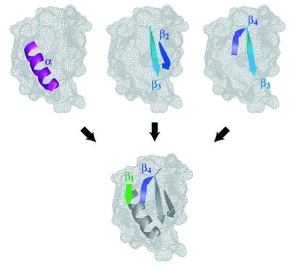 Faltung des Proteins CI2 (s. Abb. 1) durch sukzessives Schließen kurzer Schleifen. Auf diesem Faltungsweg werden zunächst die α-Helix und die β-Strang