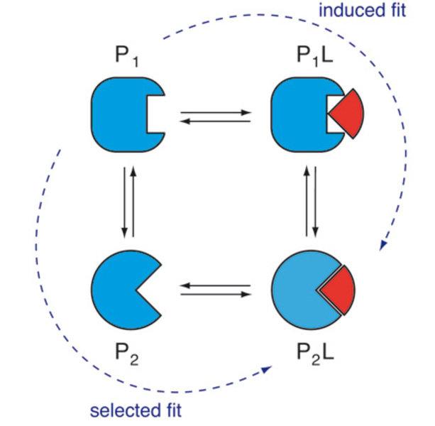Einfaches Bindungsmodell eines Proteins mit zwei Strukturen. Auf dem induced-fit-Bindungsweg bindet das Protein den Liganden im Grundzustand P1. Auf d