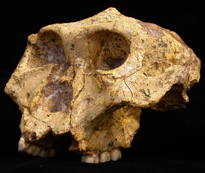 Skull of a <i>Paranthropus robustus</i> from Swartkrans Cave in South Africa.
