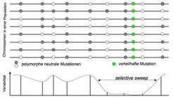 """Schema eines """"selective sweep"""". Die waagerechten Linien symbolisieren homologe Chromosomenregionen in einer Population. Mutationen die darin vorkommen"""
