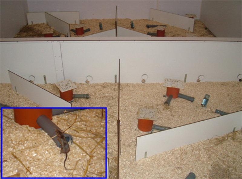 Blick in einen Experimentalraum, in dem Maus-Evolution in Echtzeit gemessen werden kann. Die Tiere nutzen die roten Plastikzylinder, um darin ihr Nest