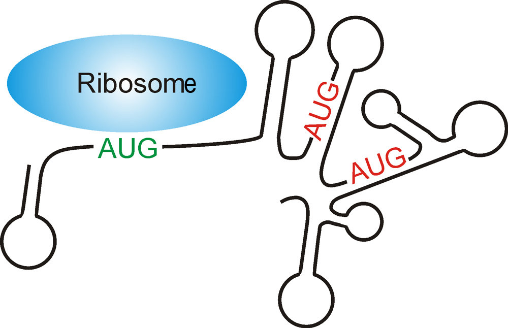 Mechanism for the recognition of an AUG start codon by the ribosome (blue) in the absence of a Shine-Dalgarno sequence. The correct AUG start codon (green) differs from all other AUG triplets (red) through its position in a single-strand (unstructured) region of the messenger RNA (black line).<br>&nbsp;