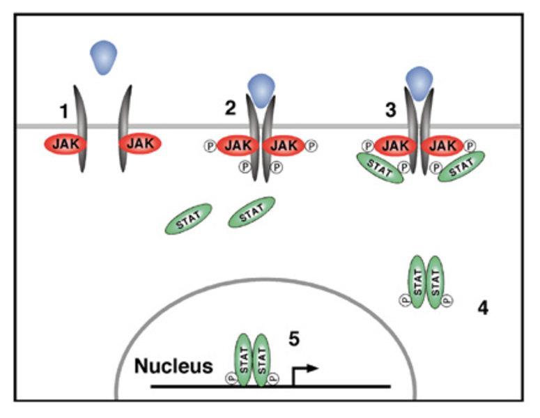 Schematische Darstellung der Hauptkomponenten des JAK/STAT-Signalübertragungsweges und der sukzessiven intrazellulären Aktivierungsschritte nach Bindu
