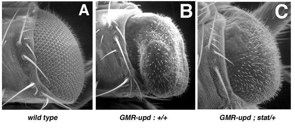 Rasterelektronenmikroskopische Aufnahmen von <i>Drosophila</i>-Augen. Wildtyp-Augen (A) sind rund und zeigen eine regelmäßige Anordnung der Facetten u