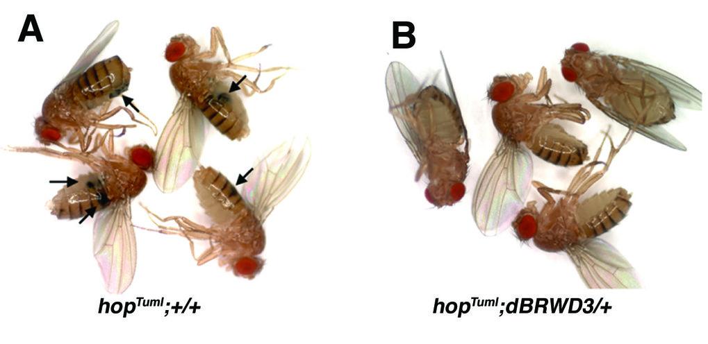 Adulte <i>Drosophila</i>-Fliegen mit einer Mutation (<i>hop</i><sup>Tuml</sup>), die zur Entwicklung großer melanotischer Blutzelltumoren (Pfeile) füh