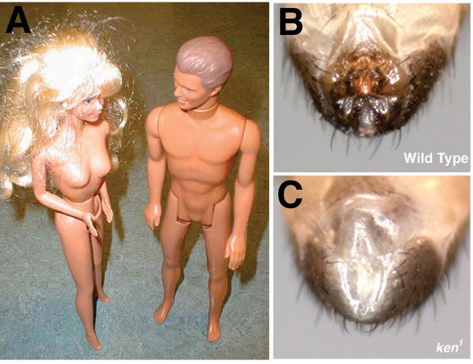 Ken&Barbie-Phänotypen: Ken- (rechts) und Barbie-Puppen (links) zeichnen sich durch fehlende äußere Genitalien aus (A). In ähnlicher Weise fehlen die ä