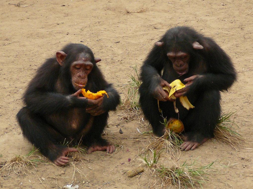 """Junge Schimpansen beim Verspeisen ihrer """"Beute"""" nach einer Fütterung. Auch gemeinsam erlangte Ressourcen werden von zwei Schimpansen nur selten geteil"""
