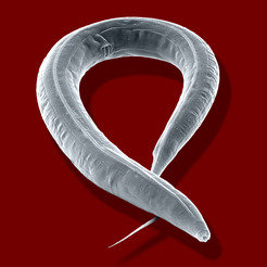 Electron microscope image of the roundworm <i>Caenorhabditis elegans.</i>