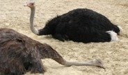 Sleep studies in ostriches uncover the evolution of REM sleep.