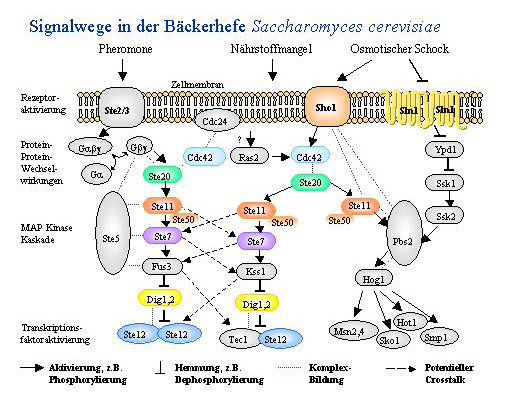 Schematische Darstellung einiger Signalwege bei der Bäckerhefe Saccharomyces cerevisiae: Der Pheromonweg (verantwortlich für ein Wachstum in Richtung