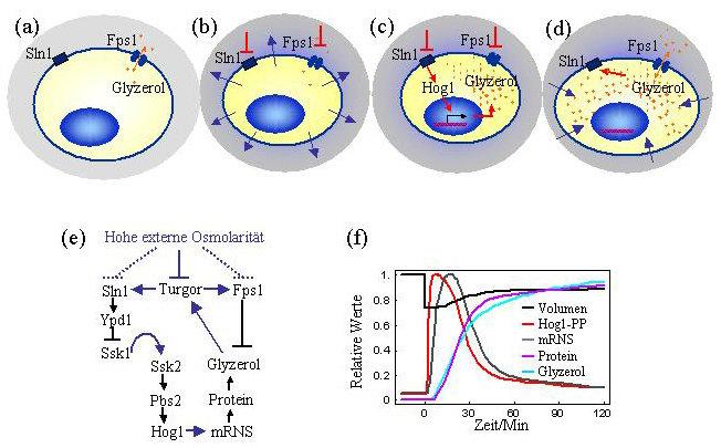 Prozesse bei der Osmoadaption von Hefezellen in zeitlicher Abfolge: a) Ohne Stress wird wenig Glyzerol produziert und zum Teil durch den Glyzerolkanal