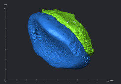 3D rendering of the Denisova phalanx. The blue concave surface shows the articulation, the green color stands for the rest of the bone.
