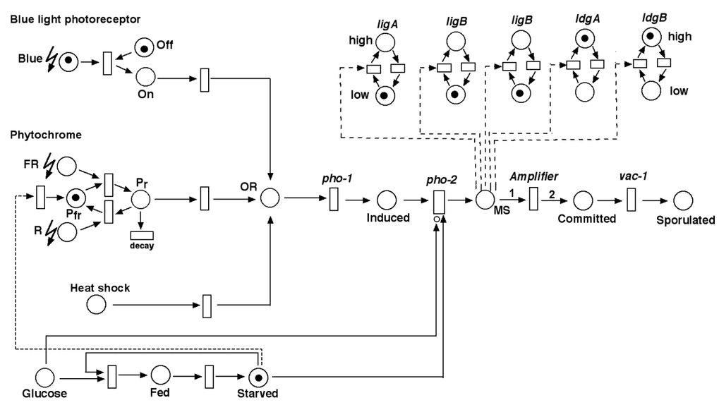 Das Netzwerk zur Steuerung der Sporulation von Physarum polycephalum in Form eines hierarchisch strukturierten stochastischen Petri-Netzes.