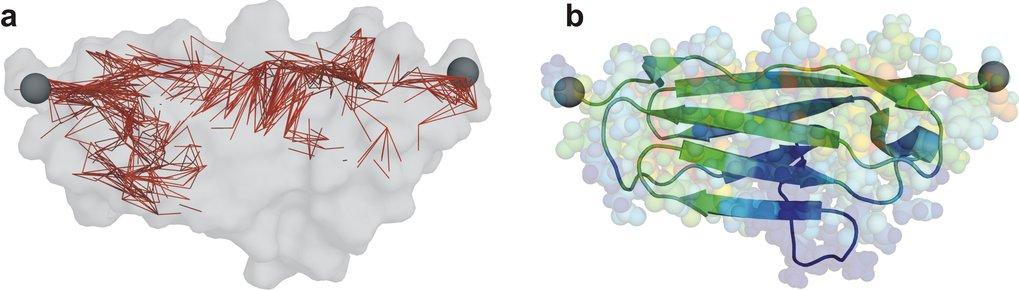 Kraftverteilung in Titin-Immunoglobulin-Domänen, einer mechanisch bemerkenswert stabilen Proteinfamilie. Die Kraft wurde an den Enden der Proteinkette