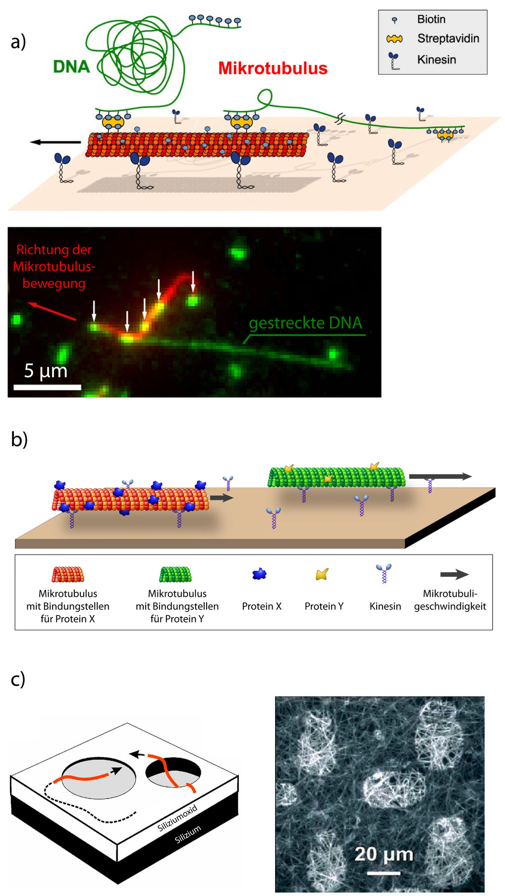 die arbeitstiere der zelle biomolekulare motoren als nanoroboter max planck gesellschaft. Black Bedroom Furniture Sets. Home Design Ideas