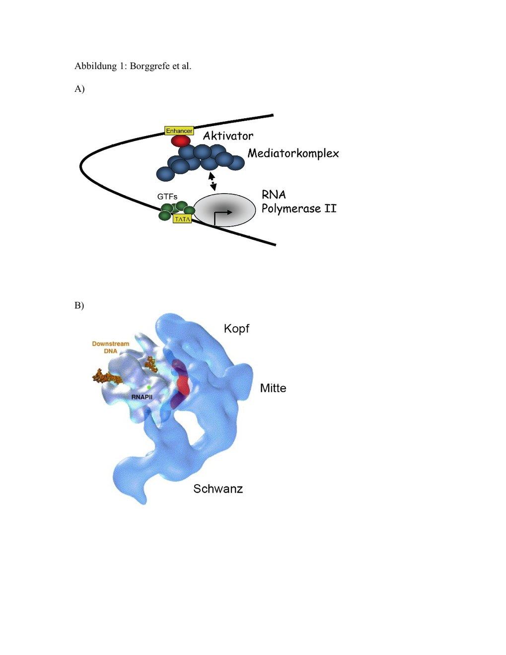 A) Modell für die Bildung des RNA-Polymerase II-Initiationskomplexes: Mediator bindet an genspezifische Regulatoren und interagiert transient mit der