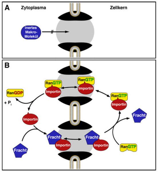 <b>Importin-abhängiger Proteintransport in den Zellkern </b> Zellkern und Zytoplasma sind durch die Kernhülle voneinander getrennt. Ein stofflicher Au