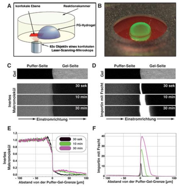 <b>Analyse der Permeabilitätseigenschaften des FG-Hydrogels</b>. <b>A) </b>Schema des Messansatzes. Ein FG-Hydrogel wird so auf dem Objekttisch eines
