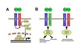 <b>Die TGF-Signalkaskade</b>  (A) TGF-ß-Proteine binden an Transmembrankomplexe, die Smad-Proteine innerhalb der Zelle phosphorylieren und dadurch akt