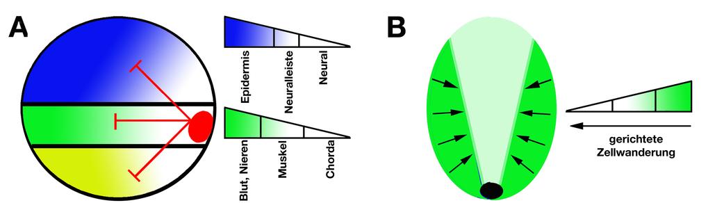 <b>Der BMP-Signalgradient</b>  (A) Durch lokale Sezernierung von Antagonisten wird im Embryo ein BMP-Signalgradient etabliert, durch den verschiedene