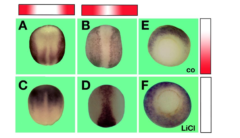 <b>Expression BMP-regulierter Gene</b>  Die Expression von Genen, die durch BMP-Signale stimuliert werden, ist von der Rückseite während der Neurulati
