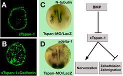 <b>xTspan-1 hemmt Zelladhäsion und stimuliert die Bildung von Nervenzellen.</b>  (A) Die xTspan-1 exprimierenden Zellen  mischen sich nicht mit normal
