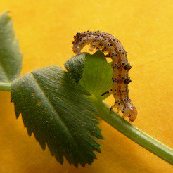 Tobacco budworm (Heliothis virescens)