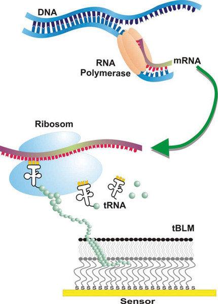 Schematische Darstellung der In-vitro-Transkription und -Translation zur  Synthese von Membranproteinen in eine künstliche Membran.