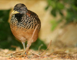 Female barred buttonquails: their testosterone levels determine the size and colour intensity of their black throat patch.