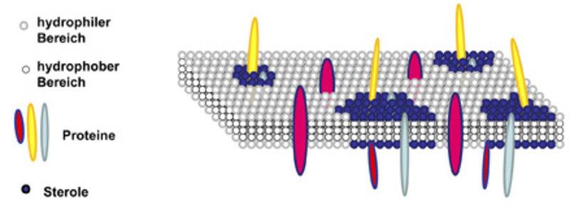 Schematische Darstellung einer Plasmamembran Die Membran besteht aus einer Doppelschicht aus Phospholipiden, in die unterschiedliche Proteine eingebet