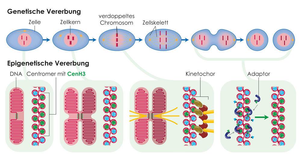 Modell zur epigenetischen Vererbung des Zentromers, wie sie bei höheren Organismen mit Zellkern abläuft. Das Histon CenH3 sorgt während der Zellteilun