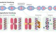 Histon-Protein CenH3 allein kann die Bildung von Zentromeren auslösen und diese von Generation zu Generation weitergeben