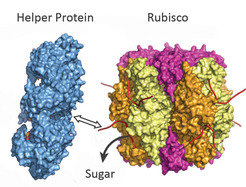 The helper protein (blue) pulls on one end of Rubisco (coloured) and frees up the sugar. The blockage is lifted.