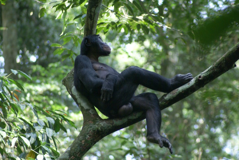 Bonobos - chimpanzees' gentle cousins