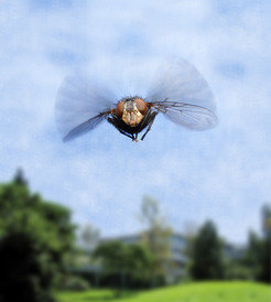 Flies are excellent fliers - but without the <i>spalt</i> gene they remain earthbound and flightless.