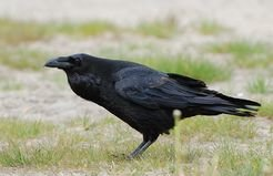 Ravens (Corvus corax) have been observed to use their beaks similar to hands to show and offer objects such as moss, stones and twigs to fellow ravens.