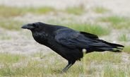 Ravens gesture with their beaks to point out objects to each other